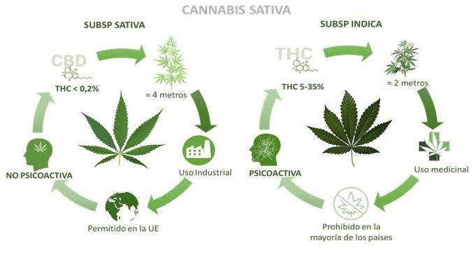 ¿Será el cannabis el cultivo que sustituya al tabaco?